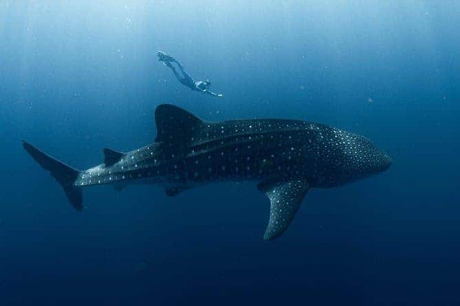 כריש לויתן